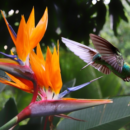 caribbean birds of paradise